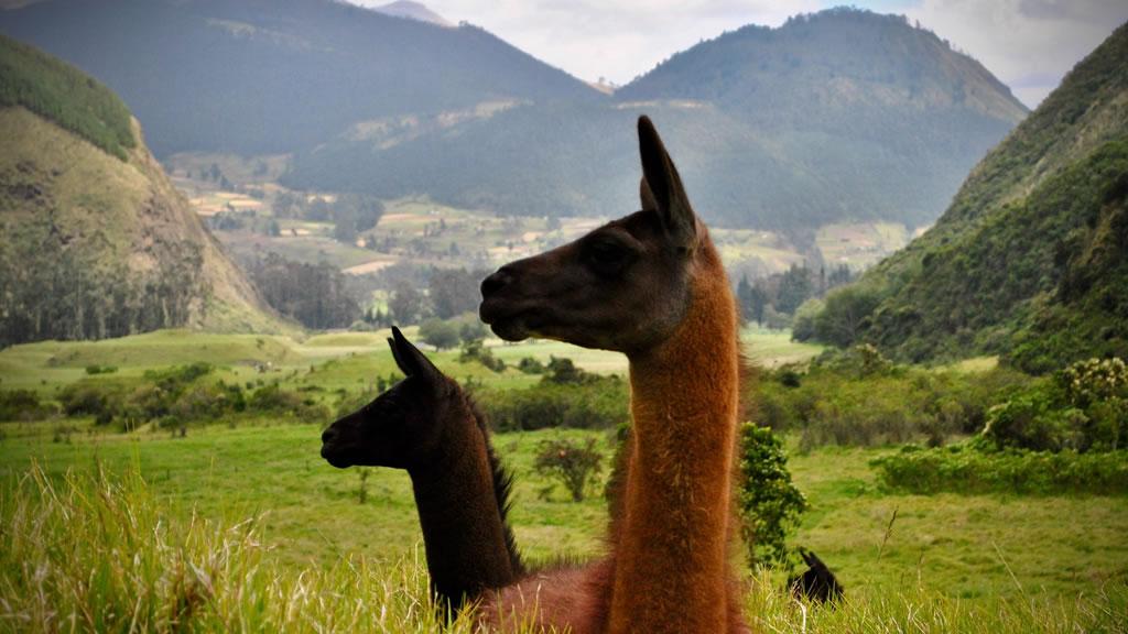 Ламы в Андах