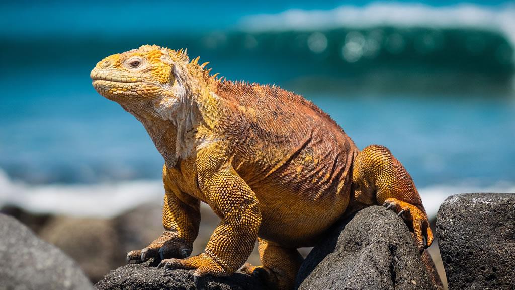 Игуана на морском берегу. Эквадор